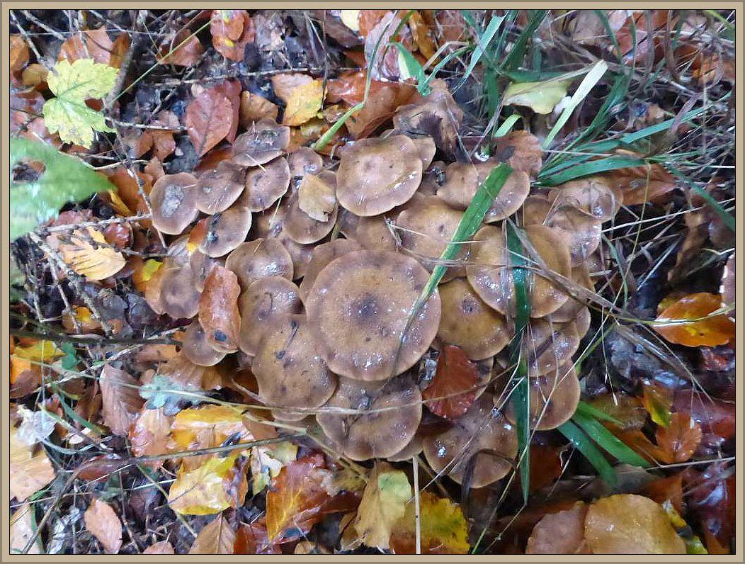 Aber nur wenige Meter entfernt, fast unscheinbar im frisch gefallenen Laub zahlreiche Büschel des Honiggelben Hallimasch (Armillaria mellea).