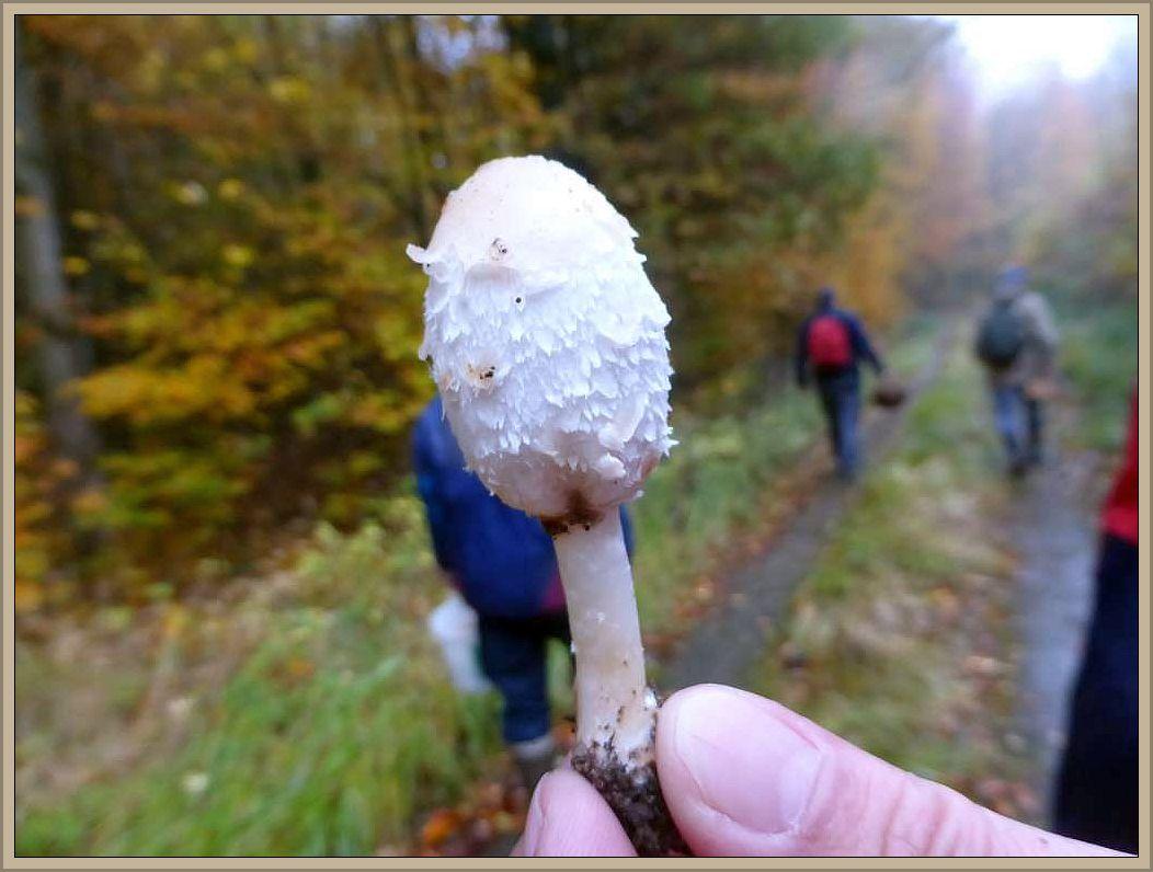 An den Rändern des Waldweges einige Schopf - Tintlinge (Coprinus comatus). Die weißlichen, ovalen Blätterpilze, die rasch in Autolyse übergehen können (Auflösung in Sporenflüßigkeit) sind gut beliebte, schmackhafte Speisepilze.