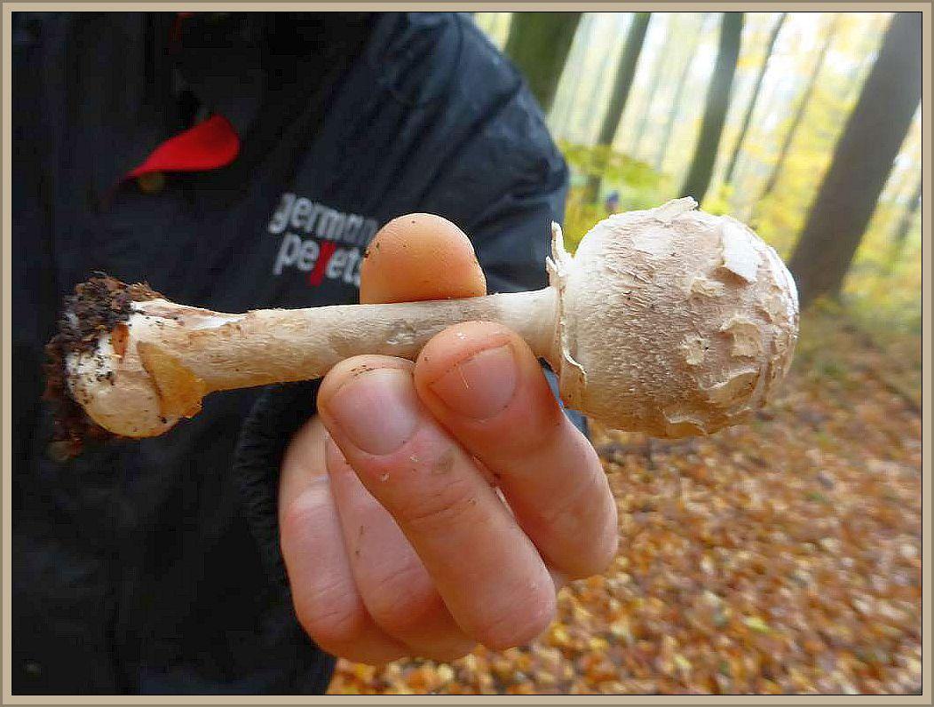 Der Grobschollige Riesenschirmpilz (Macrolepiota konradii) ist ein kleinerer Bruder des Riesenschirmpilzes. Wir finden ihn eher im Waldesinneren und er besitzt nur wenige, grobe Hutschuppen die sich um die Hutmitte oft sternenförmig anordnen. Hüte essbar.