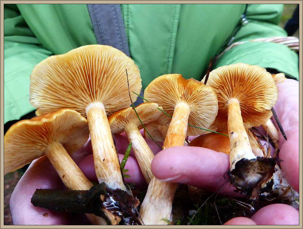 Der Geflecktblättrige Flämmling (Gymnopilus penetrans) ist ein Massenpilz des herbstlichen Kiefernwaldes. Seine anfangs gelben Lamellen bekommen zunehmend rostige Flecken. Sein Geschmach ist gallebitter, so das bereits wenige Exemplare das Pilzgericht ungenießbar machen würden.
