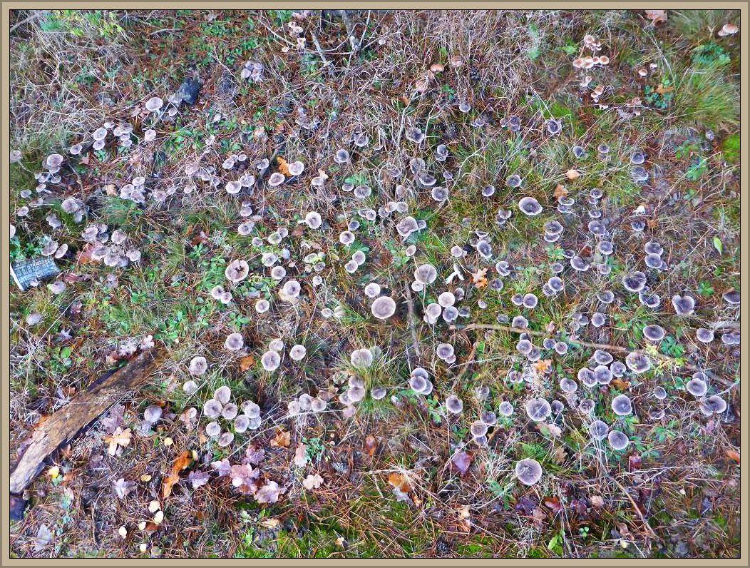 Unglaublich wie sich das Pilzweachstum bei endlich ausreichender Feuchtigkeit so kurz vor TOresschluß noch einmal aufbäumt. Es ist ein Trauerspiels, dass es jetzt so frostig werden soll. Wir sehen Graue Erdritterlinge (Tricholoma terreum und Dunkelscheibige Fälblinge (Hebeloma mesophaeum). Erstere sind essbar.r