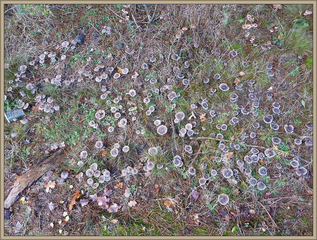 Am Rande eines Jungkiefernwaldes große Scharen von Grauen Erdritterlingen und Dunkelscheibigen Fälblingen.