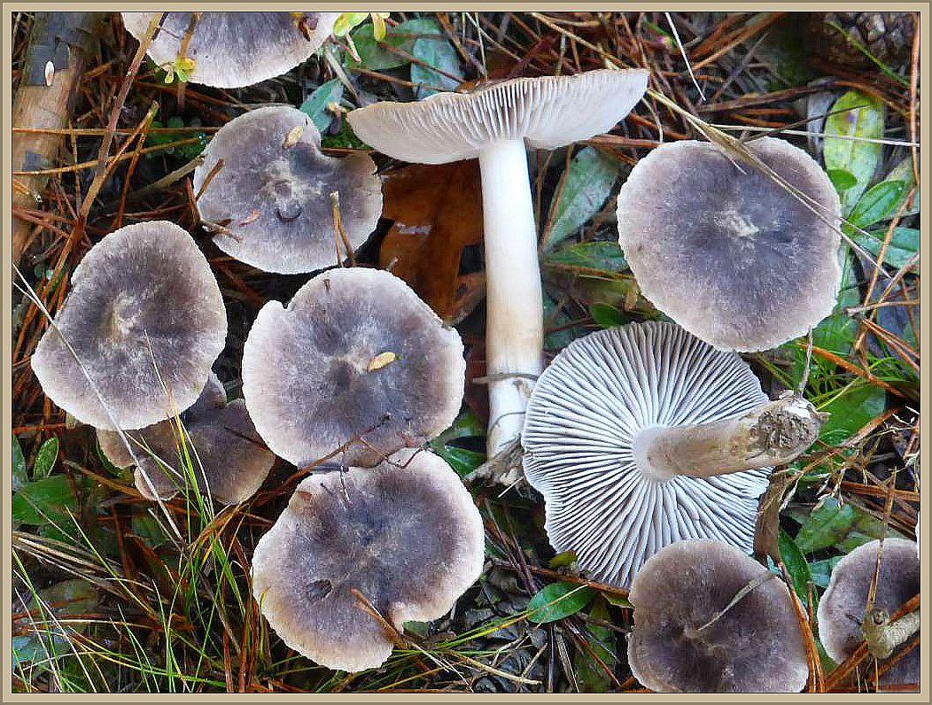 Der Graue Erdritterling (Tricholoma terreum) ist in letzter Zeit etwas ins Gerede gekommen. Er soll ähnlich wie der Grünling bei wiederholtem Genuss zu einer Muskelzersetzung führen. Nach neuesten Erkentnissen kann aber entwarnung gegeben werden. Die Gefahr ist derart gering, dass schon zentnerweise dieser Pilz verzehrt werden muss um wenigstens die Tolleranzgrenze zu erreichen, wo eventuell eine beinträchtigung auftreten könnte. Er gilt also auch weiterhin als essbar.