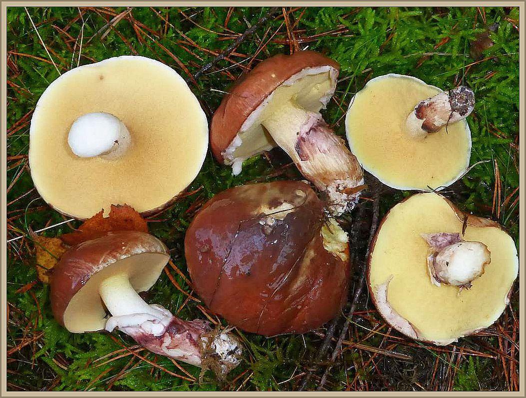 Der Butterpilz (Suilus luteus) ist zumiondest jung ein durchaus guter Speisepilz, auch wenn  er häufig zu unverträglichkeiten mit Durchfall führt. Solten diese Symthome auftreten, empfiehlt es, sich den Pilz zu meiden. Die Huthaut sollte immer abgezogen werden.