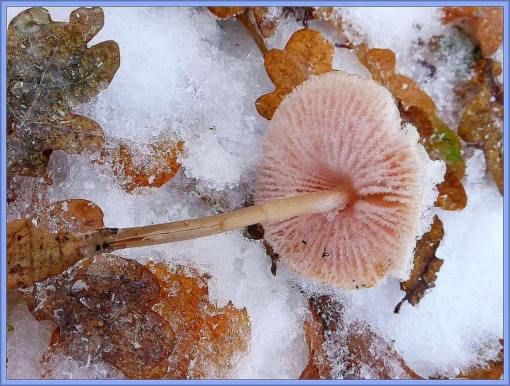 Vieleicht liegt diese besondere Erhabenheit aber auch am zusätzlichen Reifansatz an den Lamellen. Rosablättriger Helmling (Mycena galericulata).