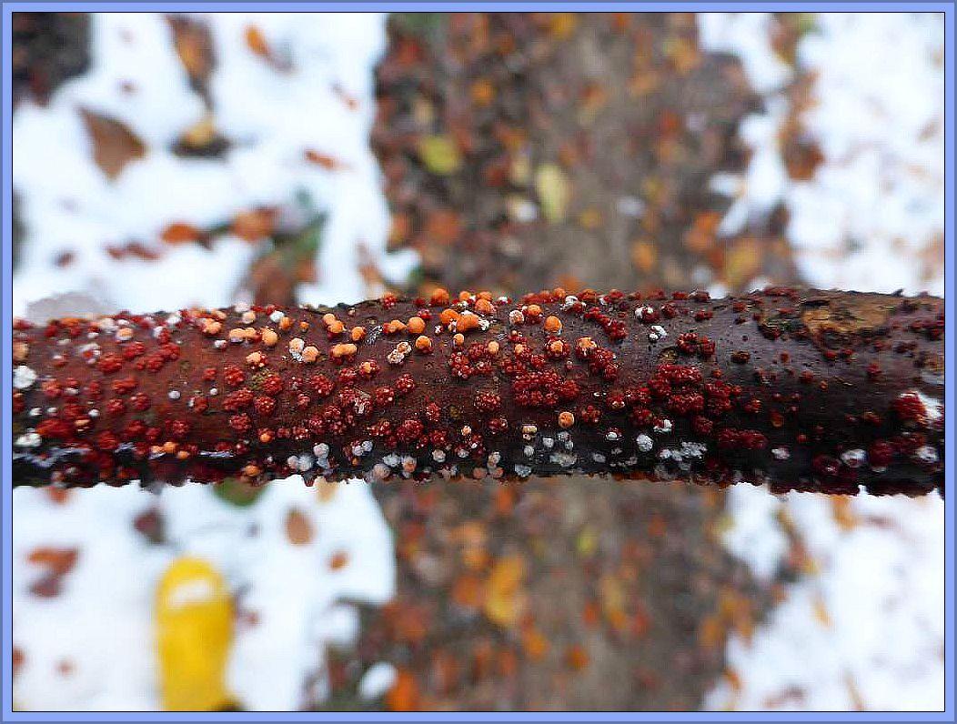 Zahlreiche Zinnoberrote Pustelpilze (Nectria cinnabarina) auf einen Launholz - Ast.