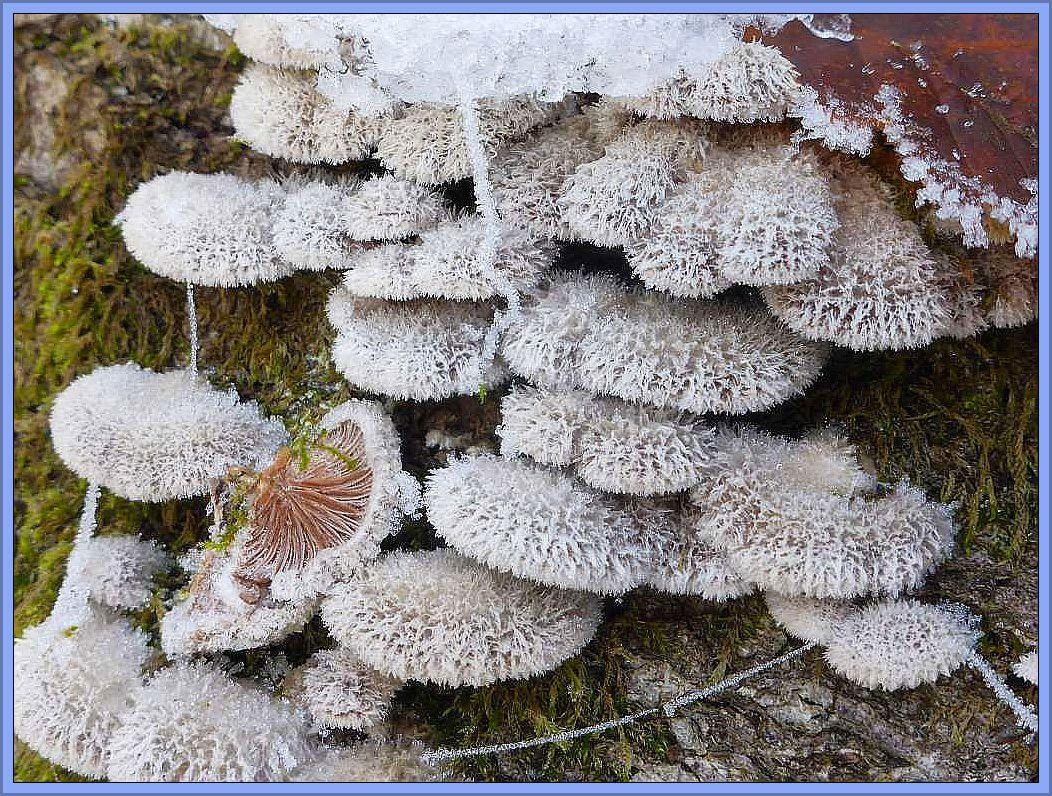 Die ohnehin schon striegelig behaarten Spaltblättlinge (Schizophyllum comune), sehen unter dem Rauhfrost noch viel filigraner und dekorativer aus.