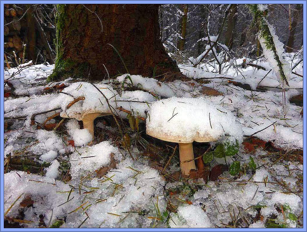 Und hier sind sie wieder, die gut getarnten Hutträger mit Schneehauben. Wir sehen Graukappen (Lepista nebularis).