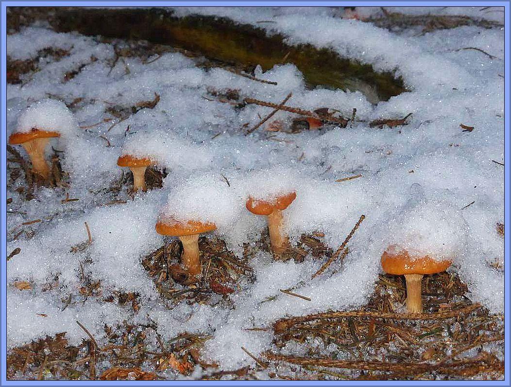 Hier sind es Fuchsige Röteltrichterlinge (Lepista flaccida), die in Reih und Glied angetreten sind. Ihnen dürfte der Frost nicht viel ausmachen. Sie werden nach dem auftauen munter weiterwachsen.
