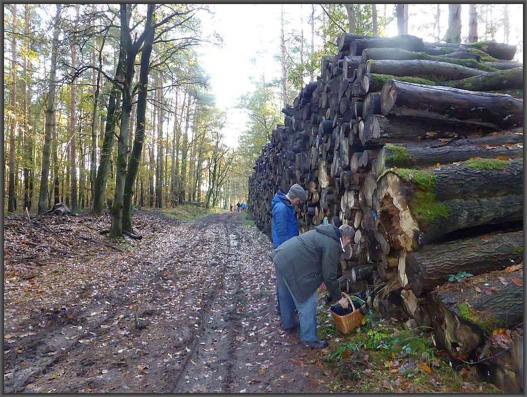 Da das Holz offensichtlich schon eine ganze weile hier lagert haben sich inzwischen ganze Herrscharen von Pilze darüber hergemacht, denn sie wollen für Ordnung sorgen und das Totholz entsorgen.