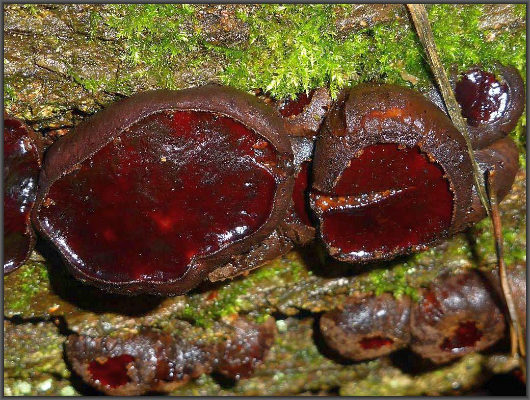 Der nächste Stapel wartet mit Eichenholz auf. Ein gefundenes Fressen für den dekorativen Schmutzbecherling (Bulgaria inquinans).n