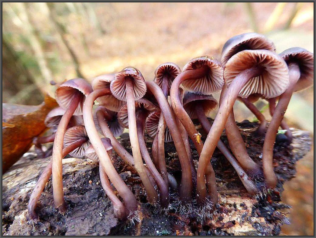 Eine Gruppe von wunderschönen Blut - Helmlingen (Mycena haematopus) hat es sich auf einem Laubholzast gemütlich gemacht. Ungenießbar.