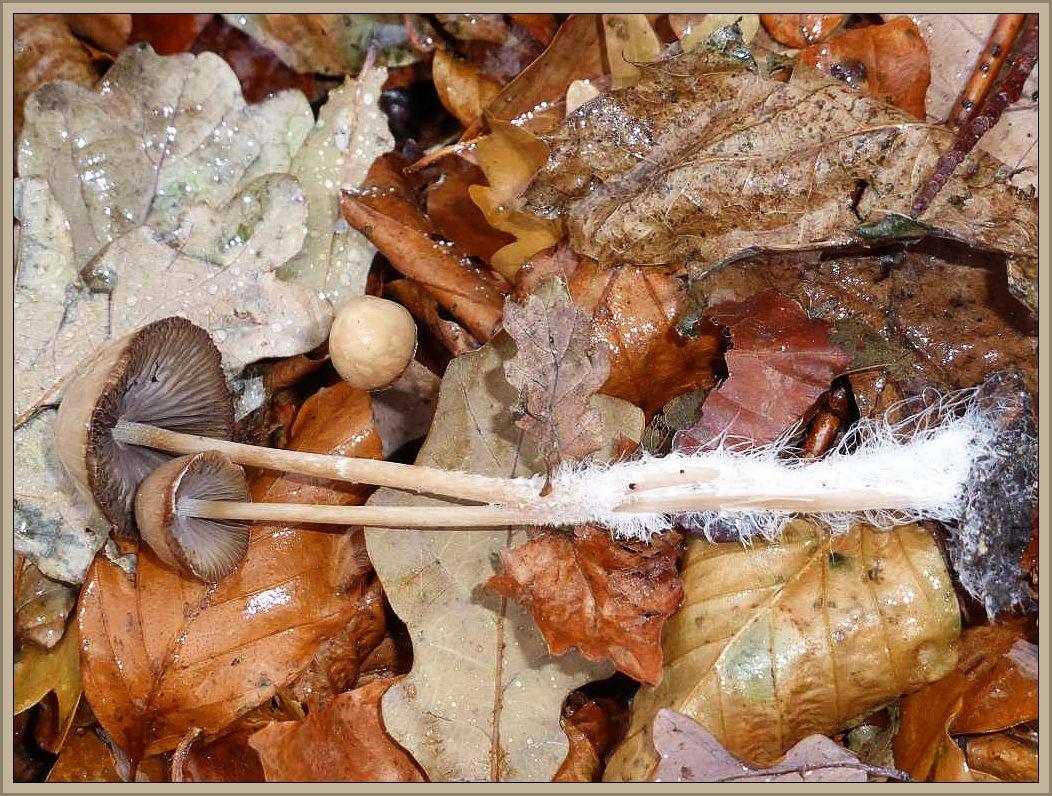 Dieses Standortfoto habe ich am 30.11.2016 im Seeblichwäldchen, das sich direkt an den Seeblickpark im Wismarer Stadtteil Wendorf anschließt gemacht. Es waren die einzigen Frischpilze die ich heute bei Regenwetter während eines Spaziergangs finden konnte. Es zeigt Lederbraune Mürblinge (Psathyrella conopila). Beeindruckend ist der starke Mycelfilz im unteren Stielbereich.