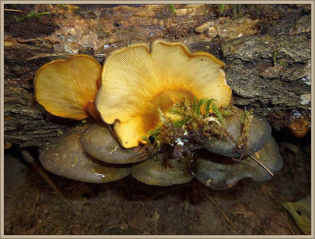 Gelbstieliger Muschelseitling (Sarcomyxa serotina).
