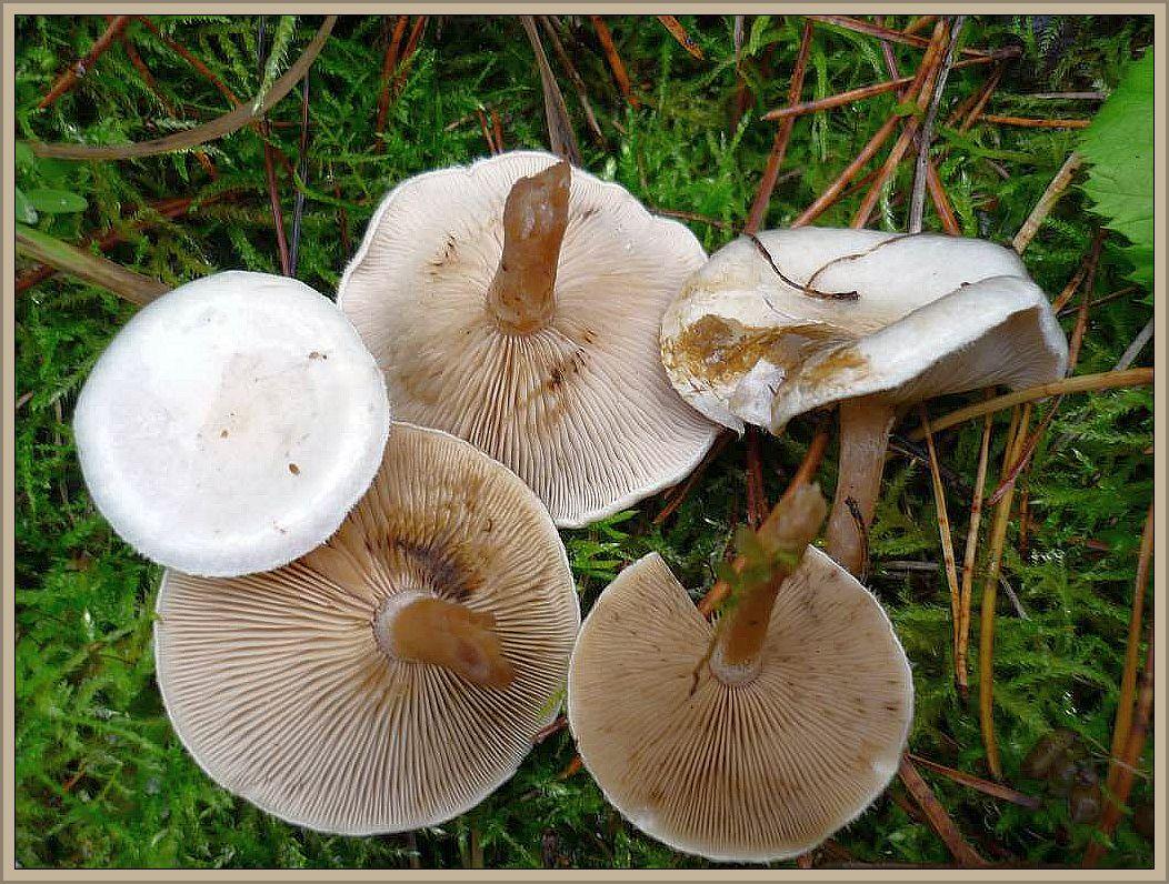 Bewimperter Filz - Krempling (Ripartites tricholoma). Einem weißen Trichterling sehr ähnlich, aber mit rosabräunlichen Lamellen und besonders in der Jugend bewimpertem Hutrand. Wei0lich bis beige gefärbt. 2 - 5 cm im Hutdurchmesser. Stiel gleichgefärbt und an der Basis zottig. Die Länge entspricht in etwa der Hutbreite. Wächst in Laub- und Nadelstreu und ist vor allem im Herbst ein recht häufiger Pilz. Kein Speisepilz. Hohe Verwechslungsgefahr mit gifigen Trichterlingen!