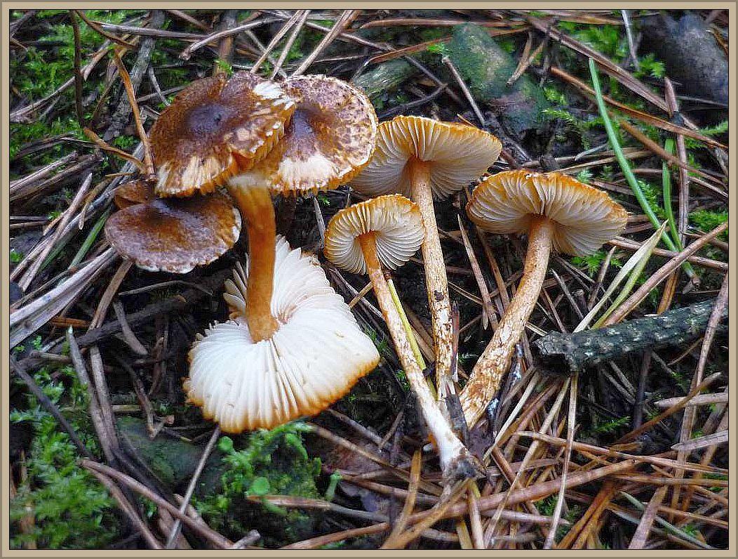 Kastanienbrauner Schirmpilz (Lepiota castanea). Giftig!