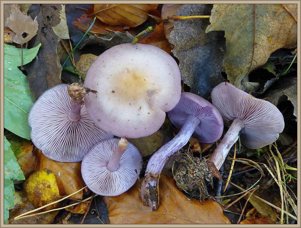 Schmutziger Rötel - Ritterling (Lepista sordida). Meist kleiner und dünnfleischiger als der Violette Rötel - Ritterling und ohne dessen süßlich aromatischen Geruch. Färbung eher grauviolettlich und graugelblich ausblassend. Im Herbst und Frühling auf guten, gedüngten Böden in Wäldern, Gärten, Parkanlagen und Rasenflächen. Essbar.