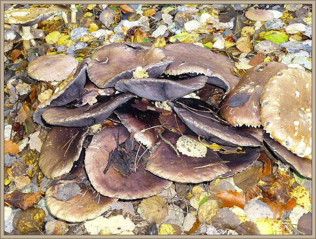 Riesenträuschlinge (Stropharia rugosoannulate) durchbrechen das aufgeschüttete Herbstlaub.