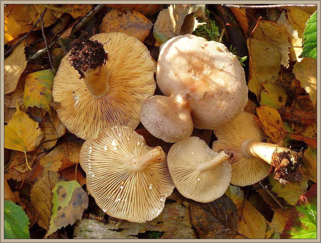 Hasel - Milchling (Lactarius hortensis). Grauoliv gefärbter Milchling mit violettlichem oder braunem Einschlag. Hut 4 - 11 cm breit. Stiel 3 - 7 cm lang und etwa 1 cm dick. Lamellen hellocker mit fleischrötlicher Tönung und nicht besonders dicht stehend. Die reichlich vorhandene, weiße Milch, schmeckt brennend scharf und reagiert mit KOH rasch goldgelb bis orangeocker. Der recht verbreitet Pilz wächst von August bis November ausschließlich unter Haselsträuchern auf neutralen bis sauren Böden. Ähjnlich kann der unter Hainbuchen vorkommende Brennreizker aussehen. Er besitzt ebenfalls weiße, sehr scharfe Milch. Ungenießbar
