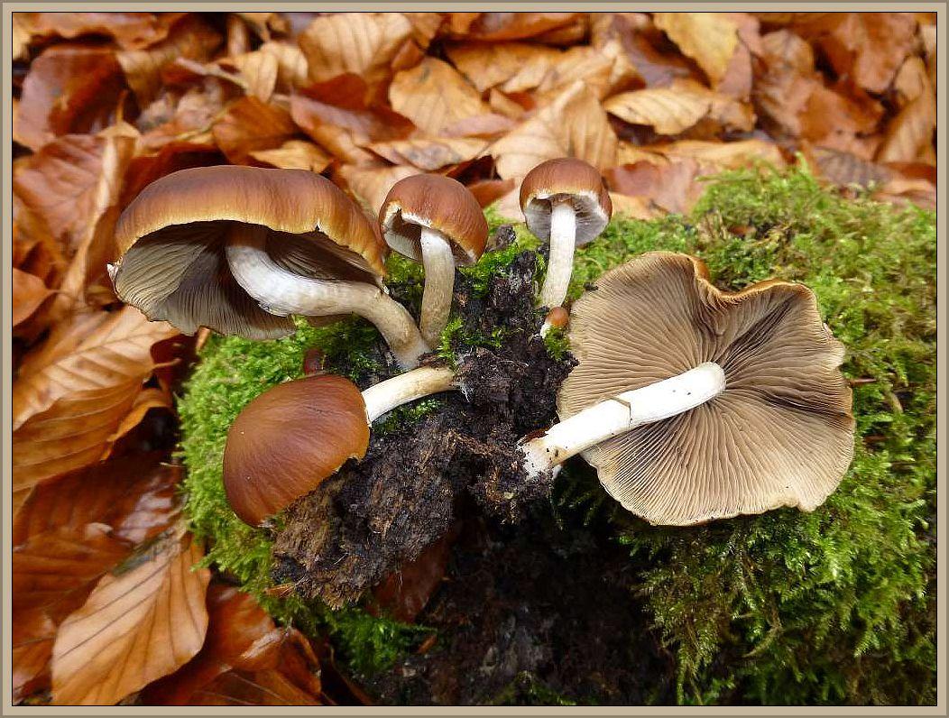Das Weißstielige Stockschwämmchen (Psathyrella hydrophila) ist eigentlich ein Mürbling und gehört daher nicht in diese Gruppe. Da er allerdings ebenfalls in großen Büscheln an Laubholzstümpfen wächst soll er hier auch seinen Platz bekommen. Weißstieliges Stockschwämmchen ist ein volkstümlicher Begriff der die Ähnlichkeit zum Echten Stockschwämmchen unterstreicht. Der feucht dunkelbraune, trocken eher beigefarbene Hut fühlt sich wie bei Mürblingen typisch etwas wachsartig an und ist recht brüchig. Sein Stiel ist weißseidig und meist ohne Ringzone. Eher sind am Hutrand noch Velumreste zu finden. Der Pilz ist essbar, auch wenn er die Qualitäten des eigentlichen Stockschwämmchens nicht erreicht. Hut