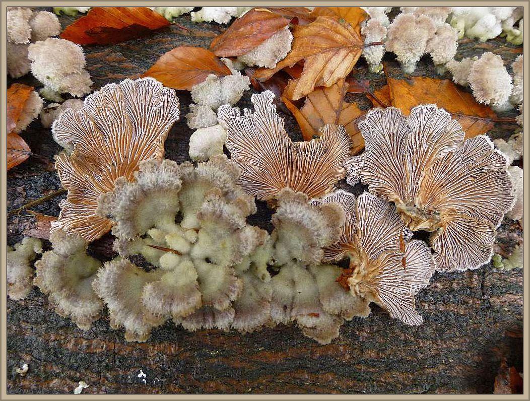 Spaltblättling (Schizophyllum comune).