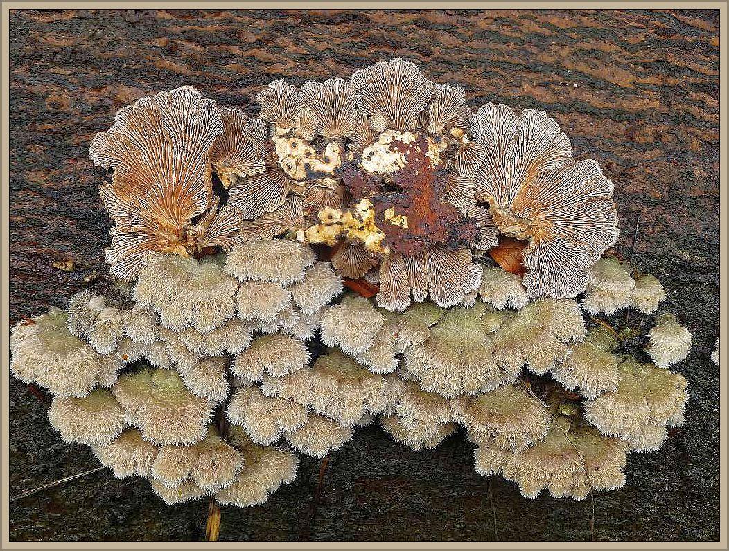 Der Spalblättling (Schizophyllum comune) ist ganzjährig an totem, aber noch recht frischem Laubholz zu finden. Insbesondere an sonnigen Plätzen.