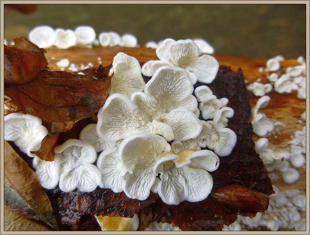 Krauser Aderzähling (Plicatura crispa). Die bis 4 cm im Durchmesser erreichenden, stiellosen Hütchen entpsringen oft in große in großen Mengen dem Substrat. Dieses bildet noch relativ frisches, festes Laubholz, besonders von Buche oder Birken. Die Oberseite der Hütchen kann weißlich bis hell bräunlich sein. Die Innenseite ist chrakteristisch gefaltet, an Lamellen erinnernd, so dass der Pilz leicht zu identifizieren ist. Vor nicht allzulanger Zeit war die Art in Mecklenburg noch selten. Inzwischen finden wir die Pilze fast in jedem guten Laubwald. Ungenießbar.