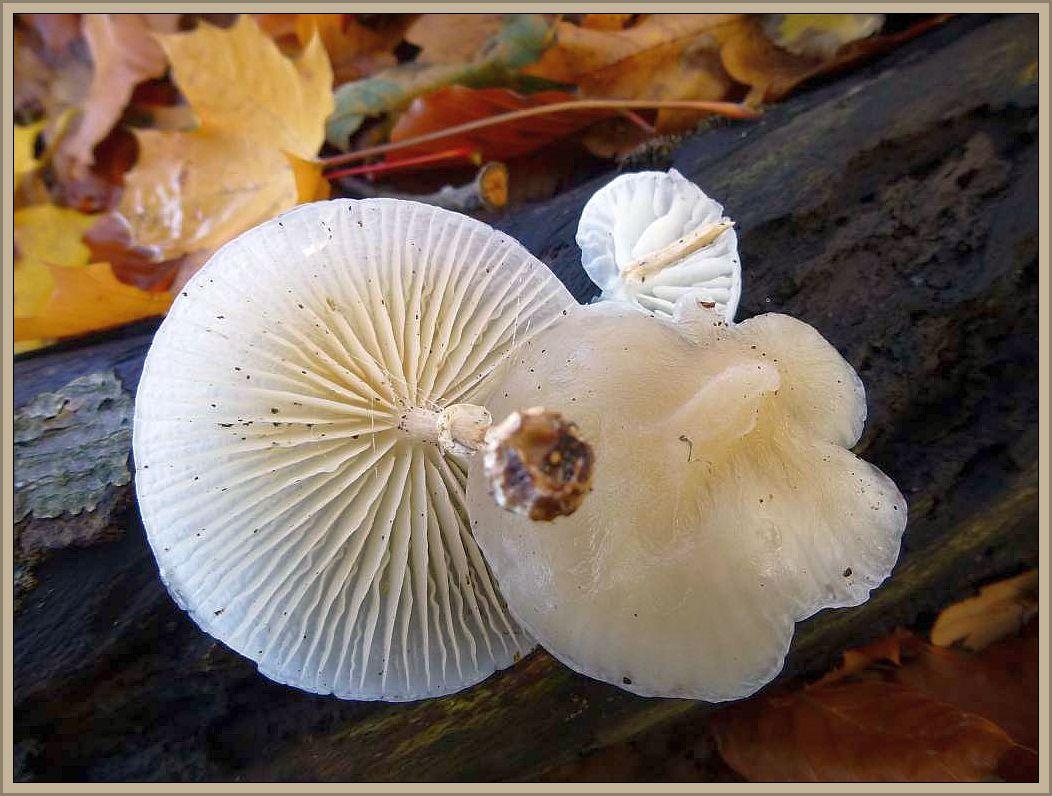 Buchen - Schleimrübling (Oudemansiella mucida). Die auffälligen glasigweißen und sehr schleimgen Rüblinge finden wir vorwiegenmd an luftfeuchten Standorten meist büschelig an Buchenholz. Oft auch hoch am Stamm. Der Stiel ist typisch beringt und die Hüte sind glasig - durcheinend. Ohne Speisewert.