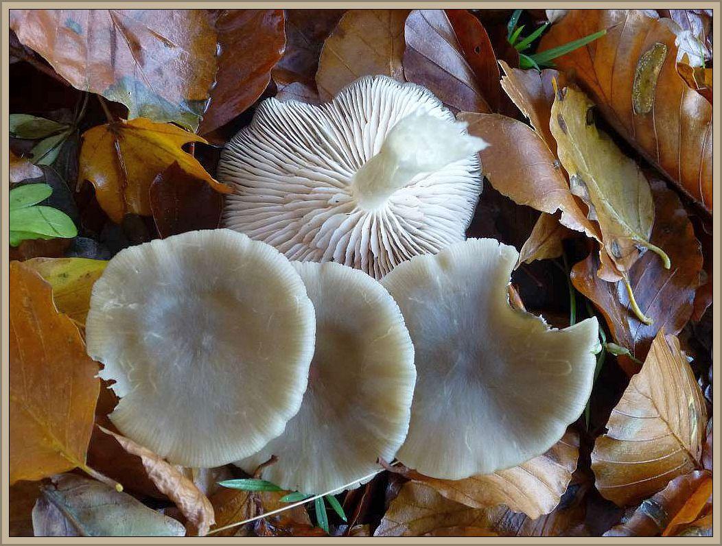 Niedergedrückter Rötling (Entoloma rhodopolium). Mittelgroßer Blätterpilz mit horngrauen, teils gelblichgrauen Hüten und grauweißen Lamellen, die später durch den Sporenstaub rosarötlich einfärben. Der Stiel ist grauweiß und seidig. Sein Geruch ist etwas mehlartig. Nitrös riechende Formen wurden früher zu einer eigenständigen Art gefaßt, dem Alkalischen Rötling. Da aber außer dem Geruch keine signifikannten Verschiedenheiten gefunden werden konnten, gilt er nur als Form des Niedergedrückten Rötlings. Wir finden die Pilze oft gesellig in Laubwäldern, vorzugsweise im Herbst. Er gilt als giftig und kann Verdaungstörungen hervorrufen.
