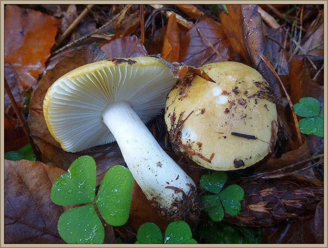 Zitronen-, Gelbweißer- oder Ockertäubling (Russula ochroleuca). Er ist wohl der häufigste aller Täublinge und spätestens an Spätsommer bis zum Winteranfang oft ein Massenpilz in unseren Laub- und Nadelwäldern. Besonders im Fichtenforst. Der schutzig gelbliche bis grüngelbliche Hut (unreife Zitrone) und der weiße Stiel und Lamellen sowie der etwas schärfliche Geschmack kennzeichen ihn recht gut. Dennoch kann er von Unerfahreren mit anderen, gelblichen Täublingen verwechselt. Im Buchenwald gesellt sich gerne der widerlich schmeckende Gallen - Täubling zu ihm (Siehe oben), mit dem er am ehesten verwechselt werden kann. Zwar essbar, aber wenig schmackhaft und daher trotz seines massenhaften Vorkommens als Speisepilz kaum zu empfehlen.