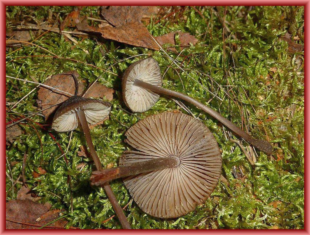 Auch an Frischpilzen sollte es nicht fehlen. Christopher Engelhardt hat für uns auf der Anreise diese Blätterpilze gefunden. Es dürfte sich um Helmlinge (Mycena) handeln.