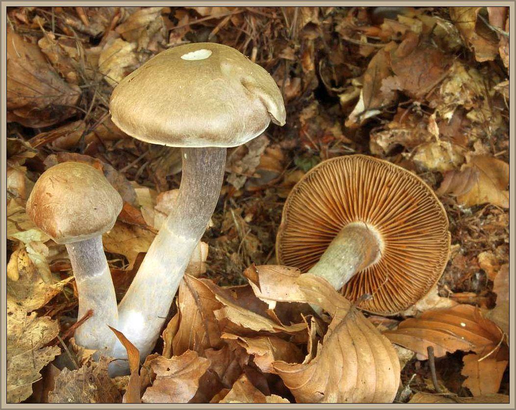 Graubräunlicher Dickfuß (Cortinarius anomalus). Jung zunächst violettgraubräunlich gefärbt, später zu rostbräunlich bis graugelblich entfärbend. Hut 4 - 6 cm breit, glockig gewölbt bis ausgebreitet mit einem stumpfen Buckel. Blätter nur ganz jung grauciolettlich, später zimtrostfarbig. Stiel grauviolettlich mit oft gelblichen Schüppchen oder gelblich gezont, schlank und zur Basis angeschwollen. Fleisch weißlich, an der Stielspitze violettlich. Spätsommer und Herbst häufig in Laub- und Nadelwäldern. In Mecklenburg meist im Buchenwald auf Kalk- und Silikatböden. Das Foto hat Wilhelm Schulz am 13.09.2014 in Flattach Schattseite im Seebachtal bei Mallnitz/Nationalpark Hohentauern in Österreich ausgenommen. Essbar.
