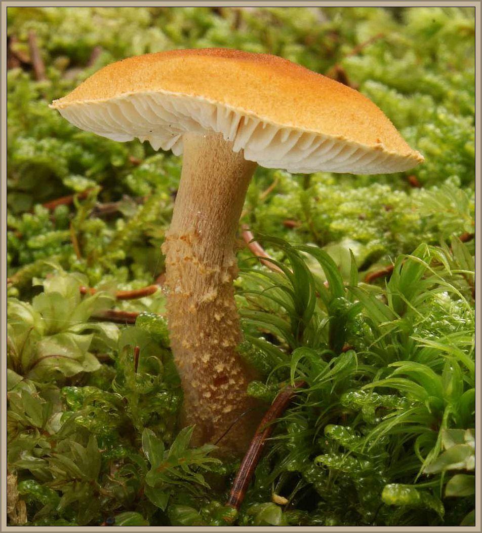Amiant - Körnchenschirlmilng (Cystoderma amiathinum). Kleiner, zarter und recht gebrechlicher Pilz von ockergelber Färbung und flockig körniger Beschuppen auf Hut und Stiel. Hut bis 5 cm breit und Stiel bis etwa 6 cm lang, mit körnig schuppiger Ringzone. Lamellen weiß bis gelblich. Fleisch fast unangenehm nach Scheunenstaub riechend. Im Herbst häufig und oft gesellig im Moos der Kiefern- und Fichtenwälder. Nicht empfehlenswert. Das schöne Stimmungsfoto hat mir Wilhelm Schulz aus Duisburg zugesandt.