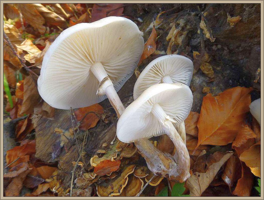 Der Buchen - Schleimrübling (Oudemansiella mucida) bevorzugt luftfeuchte Standorte, oft in Gewässernähe, wo er an Laubholz, besonders von Buchen, recht häufig büschellig vorkommt. Die schönen, wässrigschleimigen und glasigweißen Fruchtkörper wären streng genommen sogar essbar, aber es dürfte kaum lohnen, die Pilze diesbezüglich zu verarbeiten.