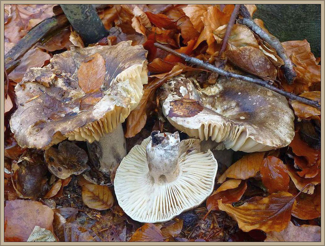 Dickblättriger Schwarztäubling (Russula adusta). Dieser große und markante Täubling ist der häufigste seiner Gruppe in Mecklenburg. Ab Hochsommer bis in den Spätherbst finden wir den Pilz mizunter massenhaft vor allem in Buchenwäldern. Er wächst aber in anderen Regionen offensichtlich auch in Nadelwäldern. Die zunächst frauweißlichen Pilze verfärben sich über graubräunlich bis zu schwarze im Alter. Die entfernt stehenden, dicklichen und sehr spröden Lamellen grenzen ihn zu ähnlichen Arten sehr gut ab. Das weiße Fleisch verfärbt bei Verletzung zunächst rötlich und schlägt dann un dunkelgrau und schließlich schwarz um. Er ist kein huter Speisepilz, kann aber in MIschgerichten Verwendung finden. Alte, mumifizierte Fruchtkörper trifft mann ganzjährig an ihren Standorten an. Gelegentlich wird er von parasitischen Zwitterlingen befallen.