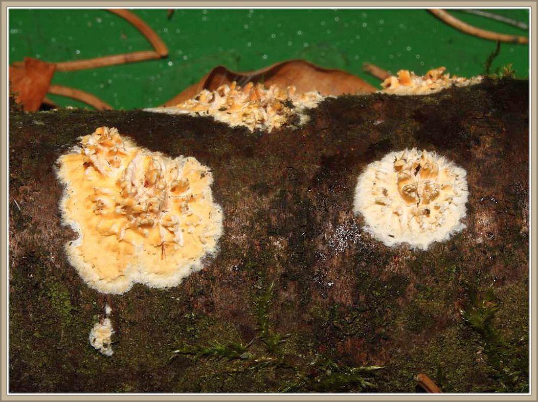 Reibeisenpilz (Hyphodontia radula). Bildet kreisförmige Flecken auf der Rinde von abgestorbenen, aber noch am Baum hängenden Laubholzästen. In der Mitte werden ockergelbliche Höcker oder Zähnchen ausgebildt, während die hellere Randzone weißfaserig nach außen weiterwächst. Dadurch können mehrere, vormals getrennte Fruchtkörper flächig zusammen wachsen. Ungenießbar. Foto von Wilhelm Schulz vom 15.03.2014 bei Manderscheid.