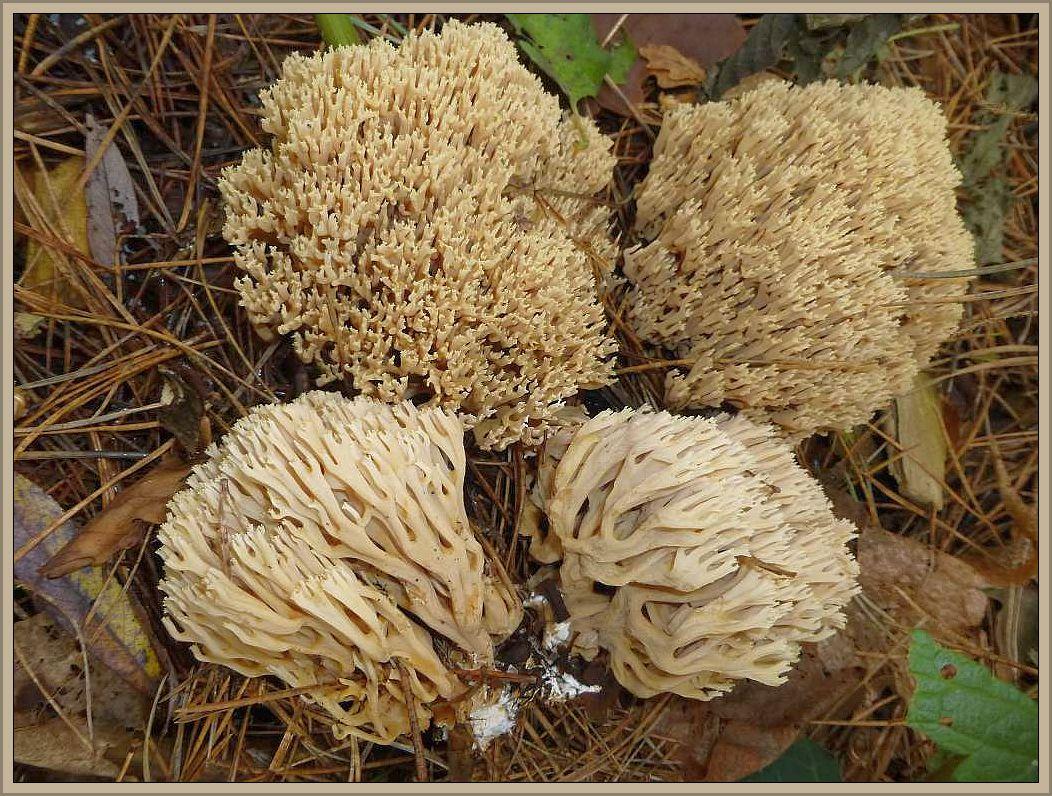 Steife Koralle (Ramaria stricta). Einer der häufigsten Korallenpilze. Bildet seine Fruchtkörper auf organischem Material, in der Regel an alten Stämmen, Stümpfen, Ästen und Holzresten von Laub- und Nadelbäumen. In diesem Falle auf Rindenmulch und in großen Massen, so dass die Insel von fast hunderten Fruchtkörpern in einer Parkanlage in Schönlage schon von weitem zu sehen war. Die Pilze sind ockerbräunlich gefärbt, mit stark verzweigten, meist sehr auftrecht stehenden Zweigen. Der Strunk ist weißfilzig. Die Konsistenz ist zäh und biegsam, während die anderen Ramaria - Arten meist recht brüchig im Fleisch sind. Der Geruch ist nicht unangenehm und der Geschmack soll leicht pfefferig sein. Ungenießbar.