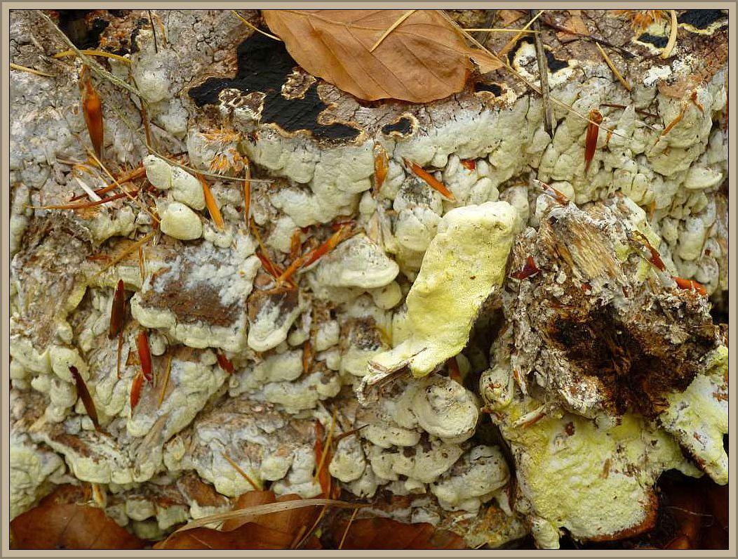 Gelbliche Resupinattramete (Antrodia xantha). Diese relativ seltene Art bildet teilweise resupinate Überzüge an Stubben von Nadelbäumen. Meist werden zahreiche nasenförmige Hutvorsprünge ausgebildet. Insbesondere die Poren sind meist deutlich gelb gefärbt während der Rest des Fruchtkörpers eher graugelblich erscheint. Braunfäuleerrreger.Ungenießbar.