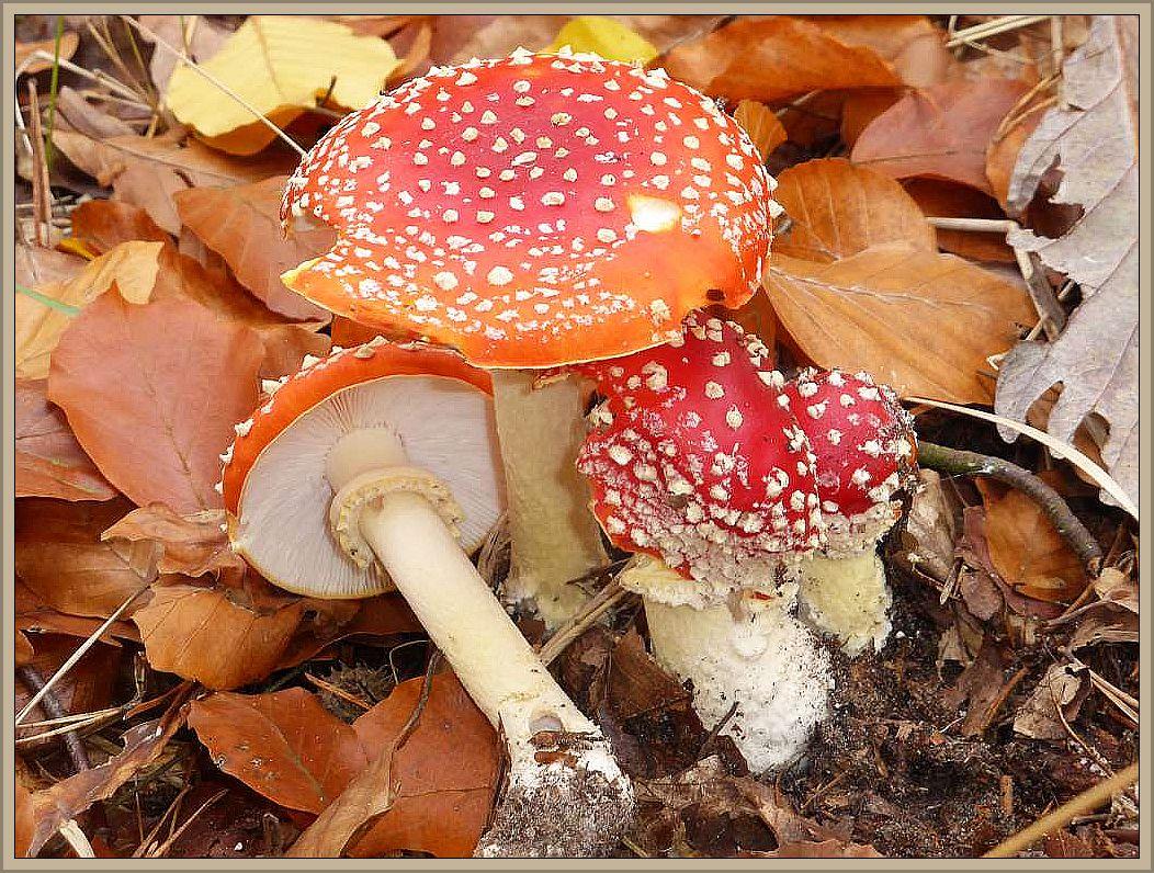 Ein Schmuck unserer Wälder und ein Glückssymbol, der Fliegenpilz (Amanita muscaria). Ein Pilz den jedes Kind kennt, aber wie sieht es mit den vielen weiteren Pilzarten aus die unsere Umwelt, insbesondere die Wälder bevölkern?