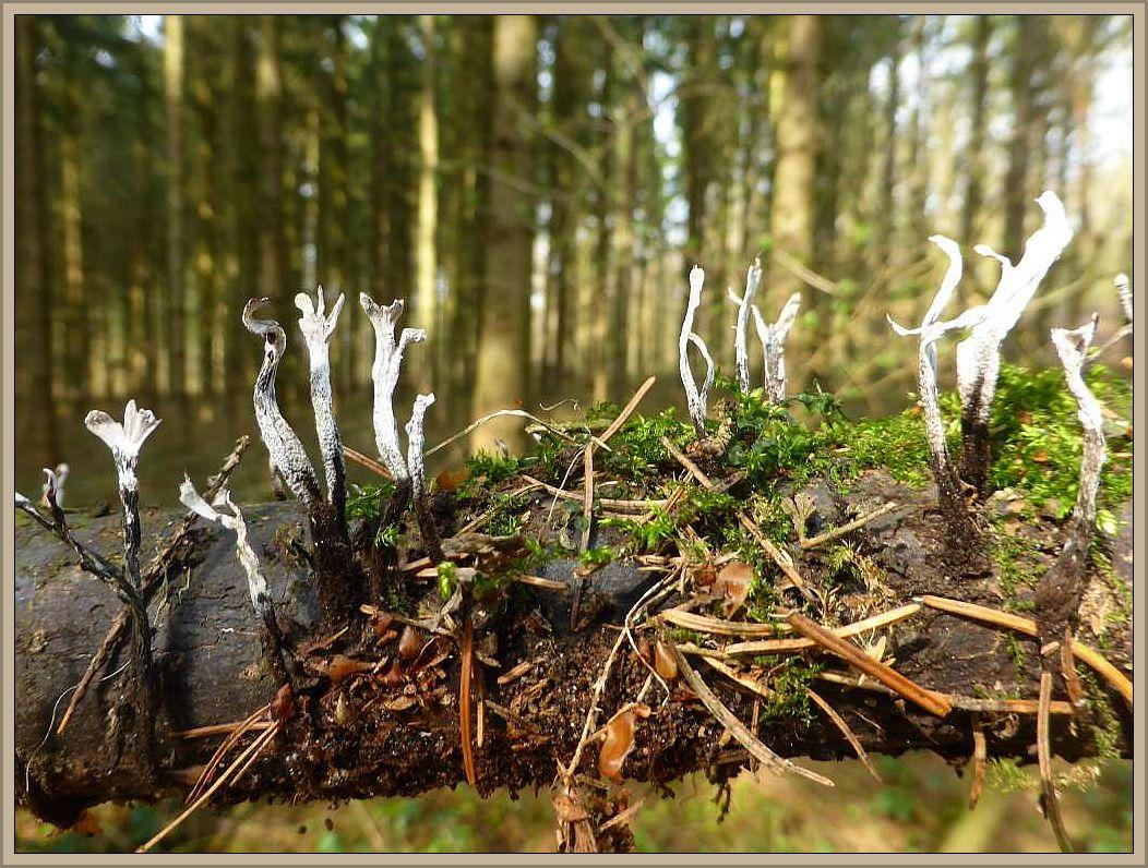 Die Geweihförmige Holzkeule (Xylaria hypoxylon) wird nun auch bald verschwinden, um im Spätherbst wieder massenhaft an Laubholz zu erscheinen.